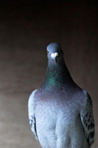 Голландские почтовые голуби