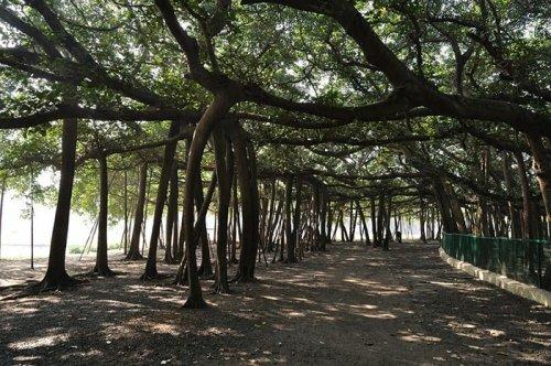 Великий Баньян - самое широкое дерево в мире