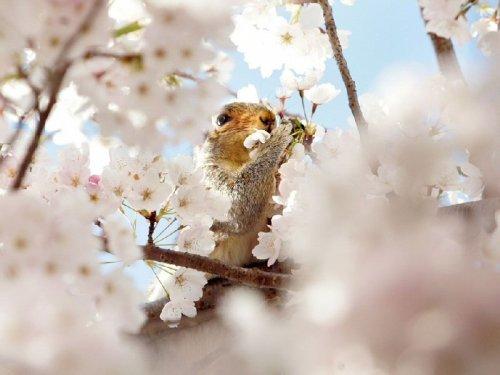 Подборка фотографий цветущей вишни