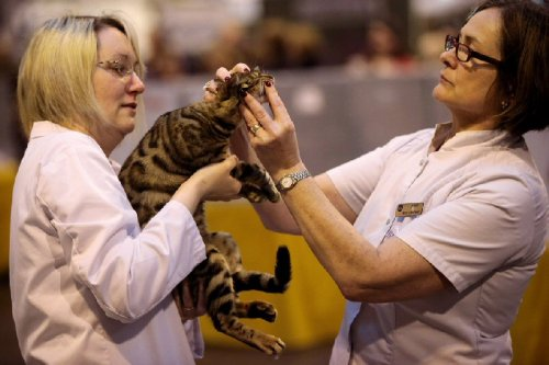 Крупнейшая выставка кошек в Великобритании