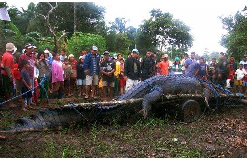 Пойман крокодил-людоед