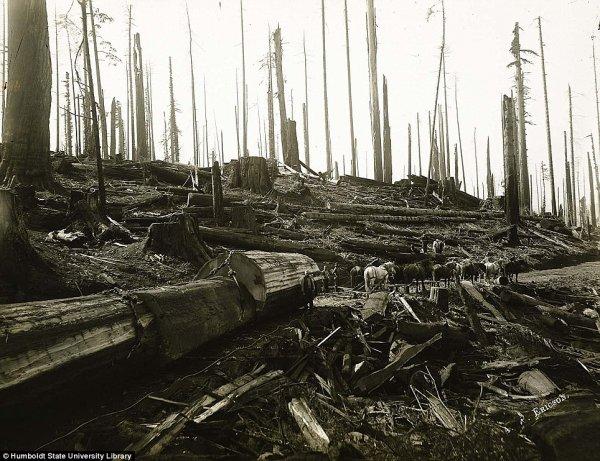 Вырубка леса в Калифорнии в начале прошлого века