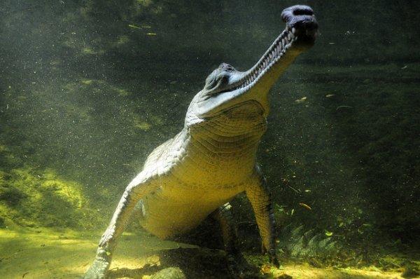 Гангский гавиал – хорошие новости для индийского крокодила