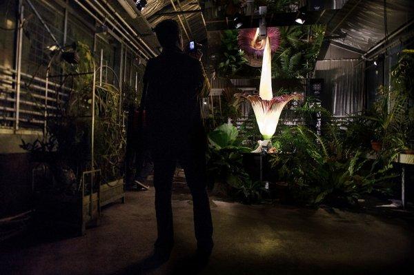 Титан Арум – самый гигантский цветок с невыносимым запахом