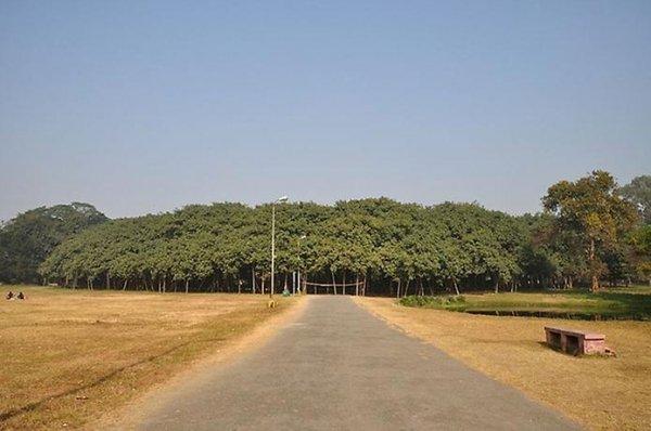 Великий Баньян – дерево с самой широкой в мире кроной