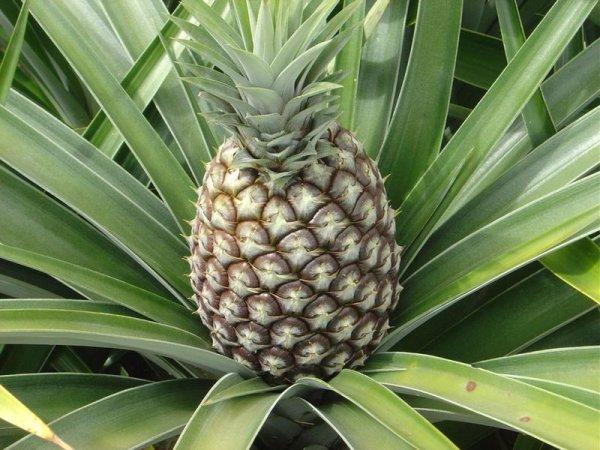 Всё, что вы хотели знать об ананасах