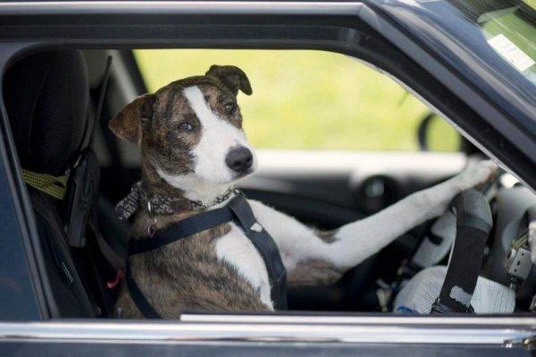 В Новой Зеландии бездомные собаки учатся вождению