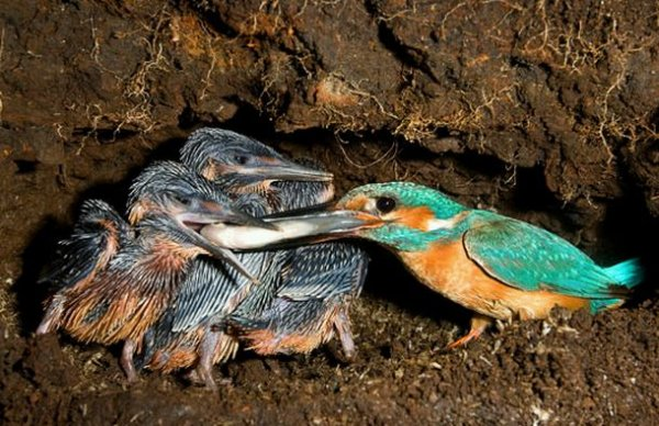 Зимородки – прирожденные рыбаки