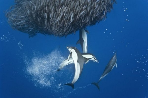 Невероятные фотографии акул и дельфинов, охотящихся на скумбрию