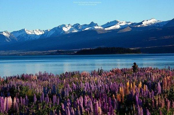 Цветение люпина на озере Текапо