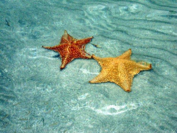 Морские звёзды на пляже Бока-дель-Драго в Панаме (17 фото)