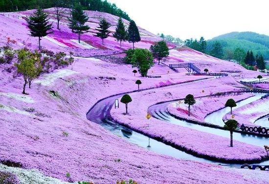 Умопомрачительный цветочный холм на острове Хоккайдо (5 фото)