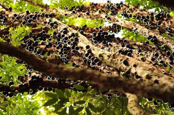 Жаботикаба: дерево с фруктами на стволе