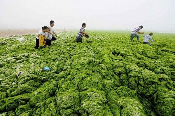 Китайские пляжи опять завалены нахлынувшими водорослями (13 фото)