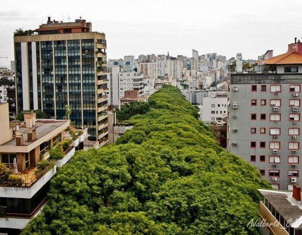Палисандровая аллея в Бразилии – самая красивая улица в мире (12 фото)