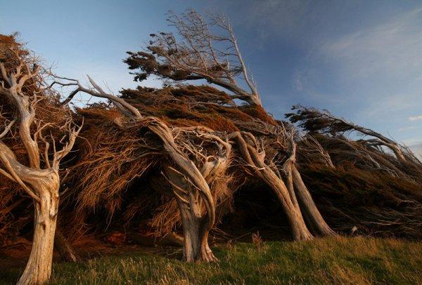 Согнувшиеся деревья на Южном острове в Новой Зеландии (17 фото)