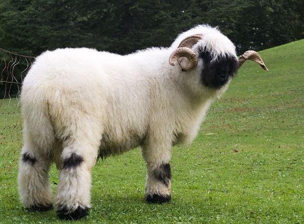 Невероятно очаровательные черноносые овечки кантона Вале (5 фото + видео)
