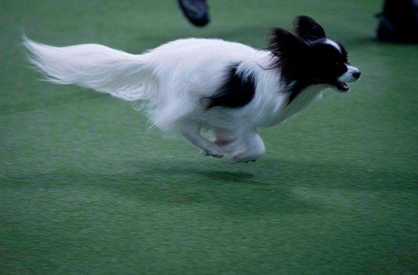 Выставка собак Westminster Kennel Club Dog Show в Нью-Йорке (11 фото)