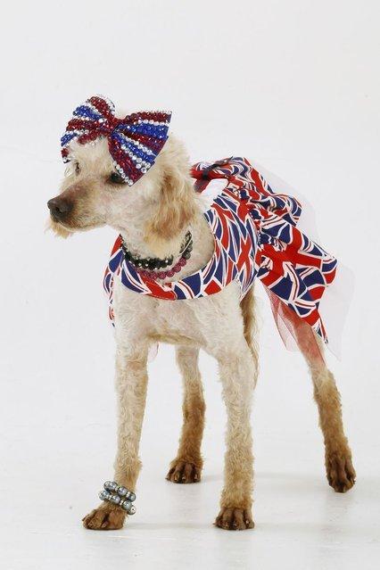 Любительница собак из Британии потратила 49 758 долларов на девять своих домашних любимцев (11 фото)