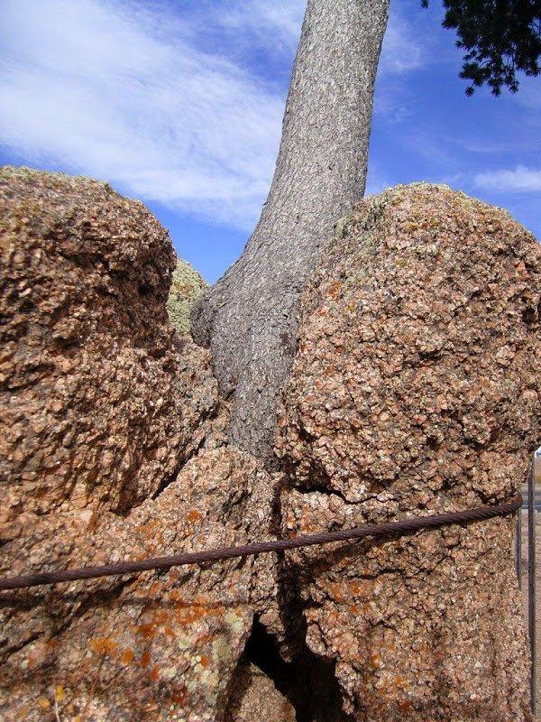 Дерево в камне в штате Вайоминг (5 фото)