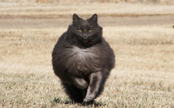 Величественный кот Зигмунд Серый (8 фото)