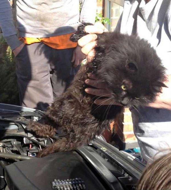 Счастливое освобождение кошки, провёдшей под капотом автомобиля 2 недели (4 фото + видео)