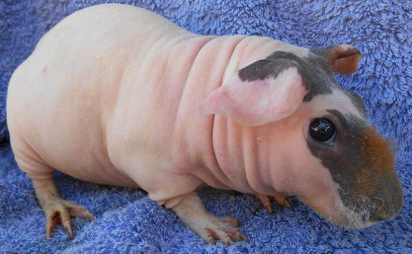 Животные без шерсти едва можно узнать (28 фото)