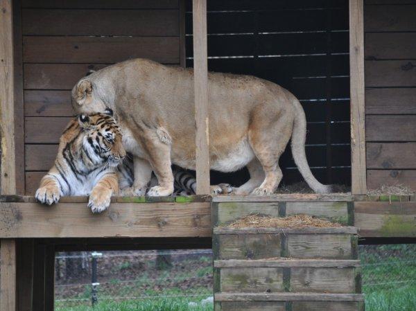 Невероятный пример дружбы между тремя хищниками (36 фото)