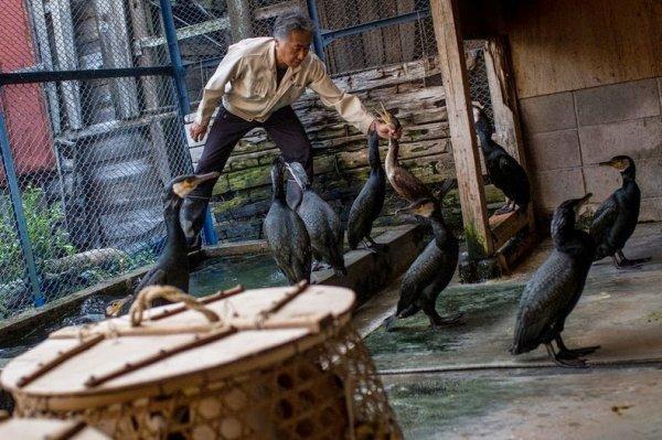 Юкай: Японское искусство рыбалки с бакланами (16 фото)