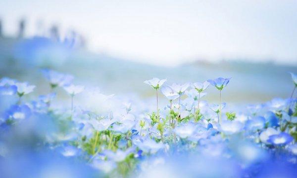 Голубой цветочный океан в японском парке Хитачи (9 фото)