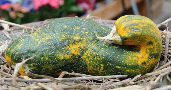 Овощи и корнеплоды, которые отчаянно пытаются быть чем-то другим (28 фото)