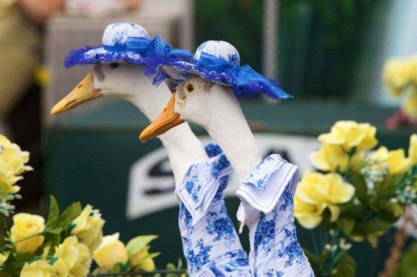 Утиный показ мод в Сиднее (9 фото)