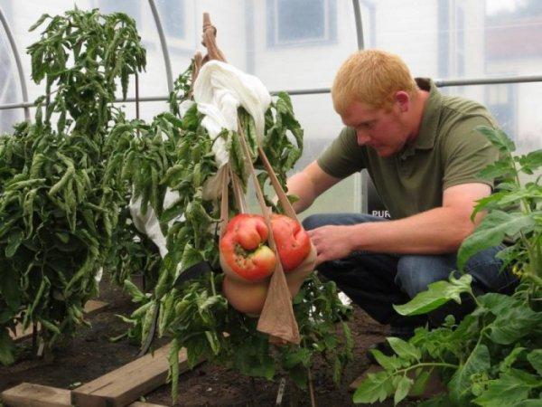 Самый большой томат 2014-го года вырастили в США (6 фото + видео)