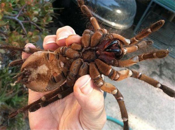 Птицеед-голиаф: крупнейший на планете паук (6 фото + видео)