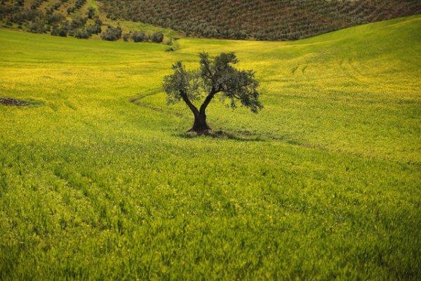 Сбор урожая оливок (20 фото)