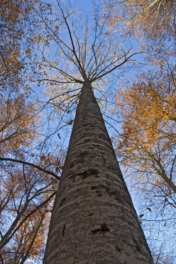 Топ-5 самых высоких деревьев на планете