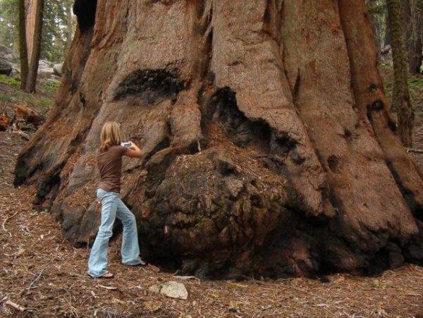 """Секвойя """"Генерал Шерман"""" – крупнейшее дерево на планете (10 фото)"""