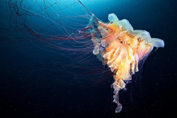 Внеземная красота медуз в новых фотографиях Александра Семёнова (20 фото)