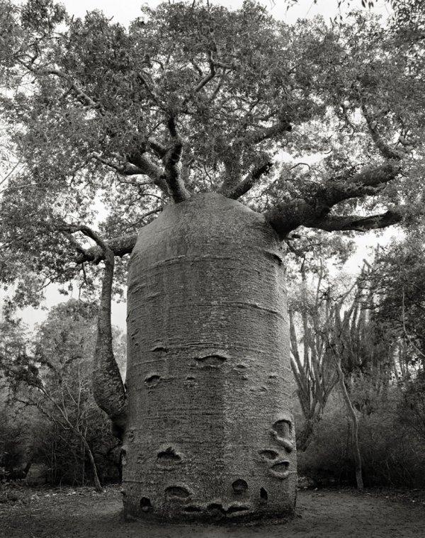 Древние деревья: женщина в течение 14 лет фотографировала самые старые деревья мира (20 фото)