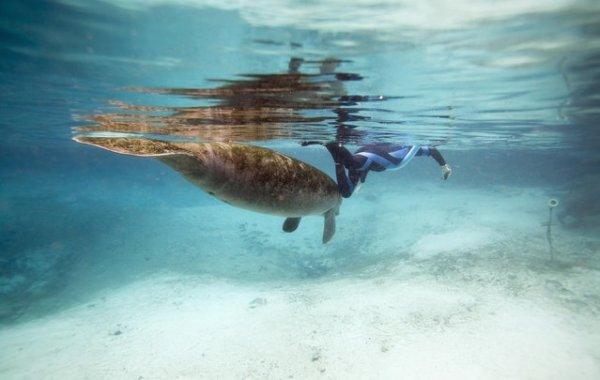 Флоридские ламантины (17 фото)