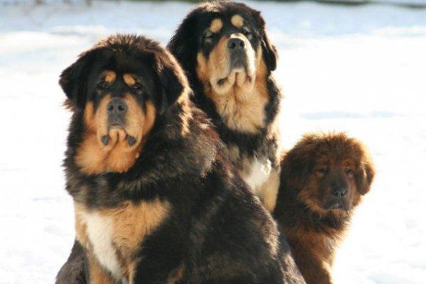 Топ-25: Крупнейшие в мире породы собак