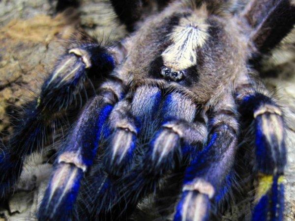 Металлический тарантул Poecilotheria metallica (17 фото)