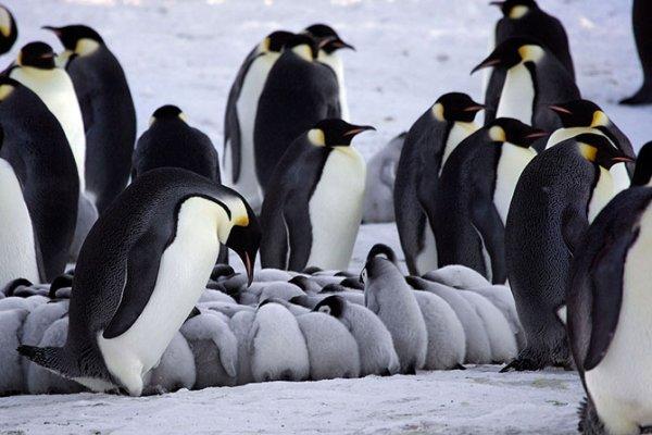 Императорские пингвины обогревают своих птенцов (10 фото)