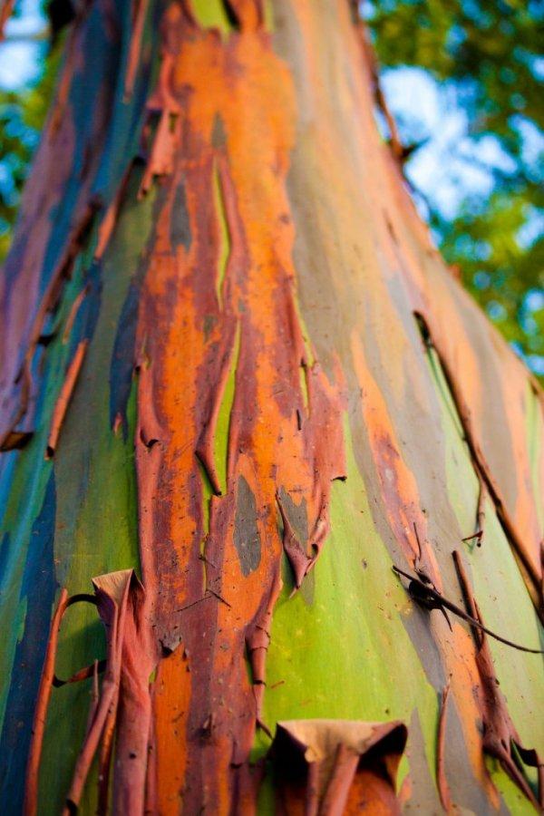 Эвкалипт радужный: все цвета радуги на коре одного дерева (16 фото)