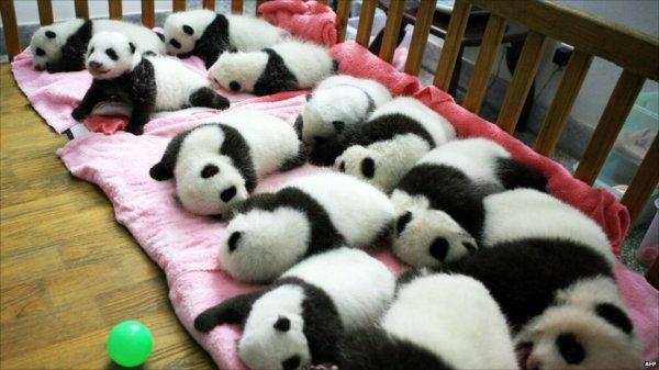 Райская жизнь больших панд в Китае (28 фото)