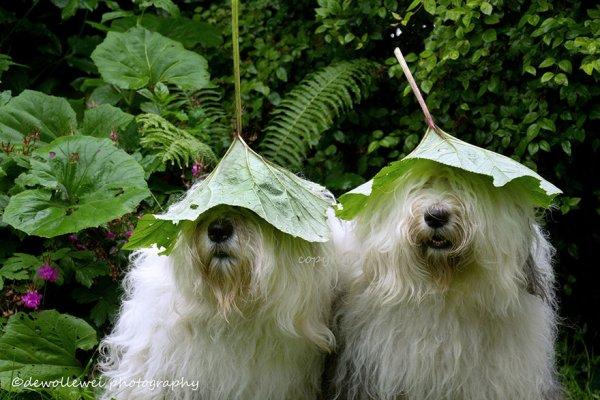 Фотогеничные бобтейлы-сестрички (17 фото)