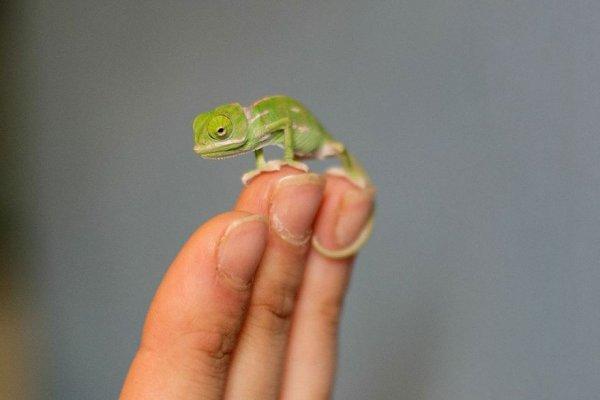 Очаровательные малыши-хамелеоны родились в зоопарке Таронга (12 фото)