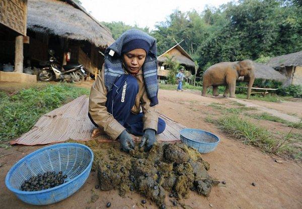 Black Ivory Coffee: самый дорогой кофе в мире (8 фото)