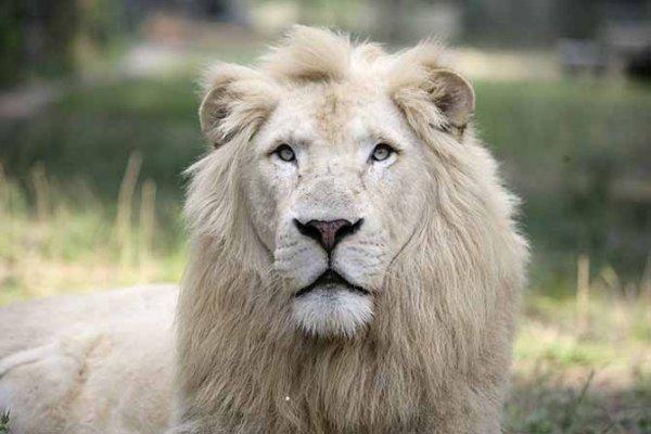 Белые африканские львы (5 фото)