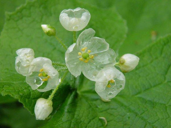 Цветок, который под дождём становится прозрачным (7 фото)